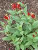 Picture of Spigelia marilandica