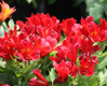 Picture of Alstroemeria 'Inca Vito'