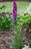 Picture of Dactylorhiza purpurella (spotted leaf)
