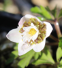 Picture of Anemone nemorosa 'Green Dreams'