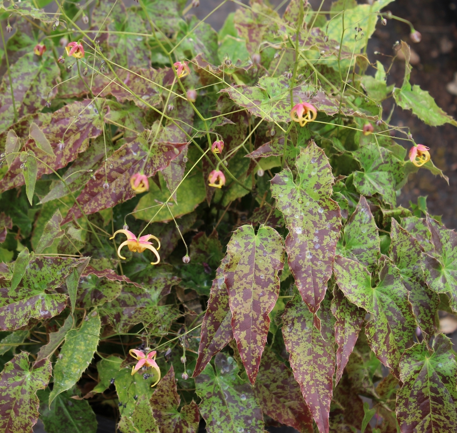 Picture of Epimedium 'Spritzer'