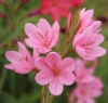 Picture of Schizostylis coccinea 'November Cheer'