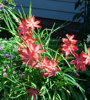 Picture of Schizostylis coccinea 'Oregon Sunset'