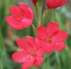 Picture of Schizostylis coccinea