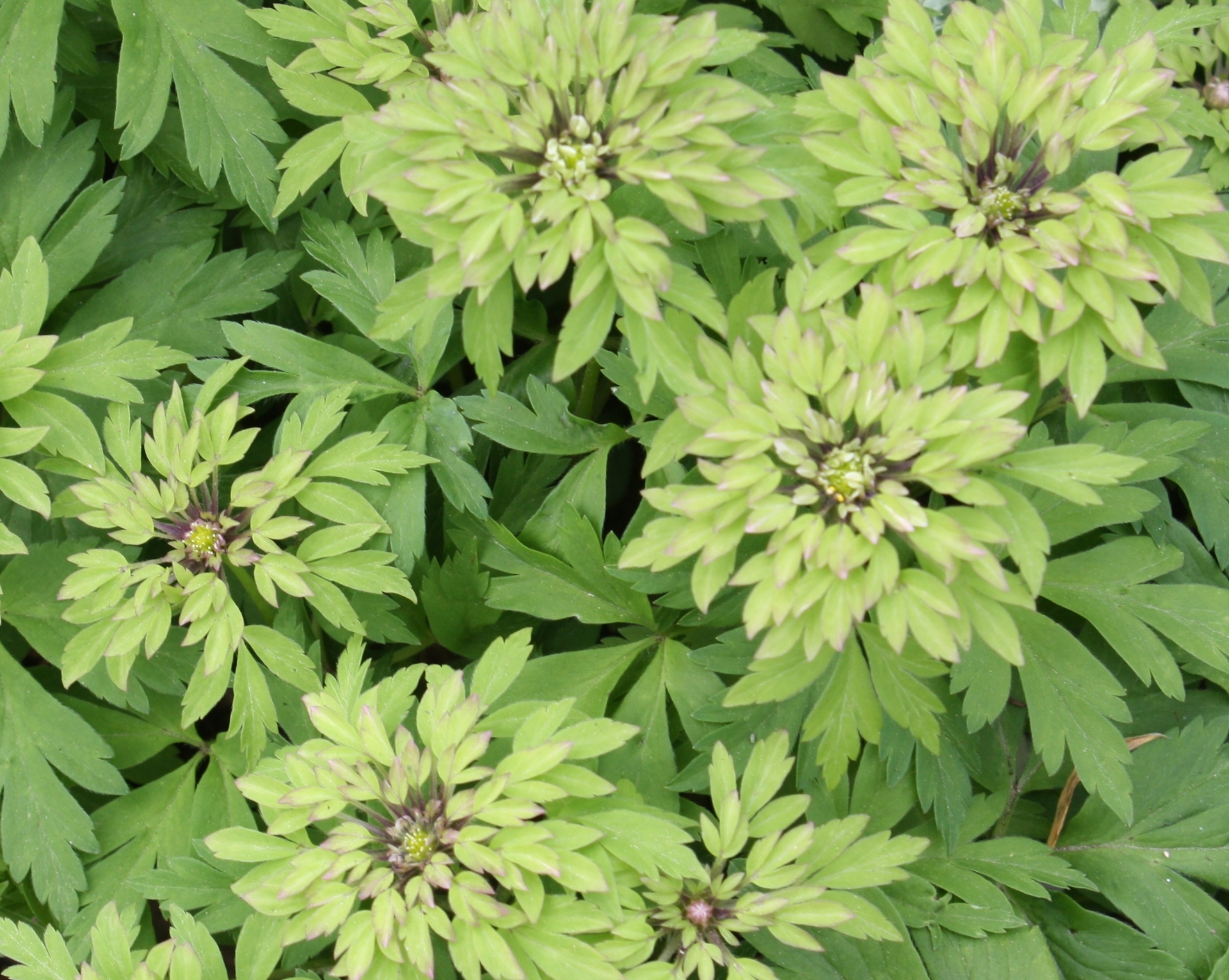 Picture of Anemone nemorosa 'Viridiflora'