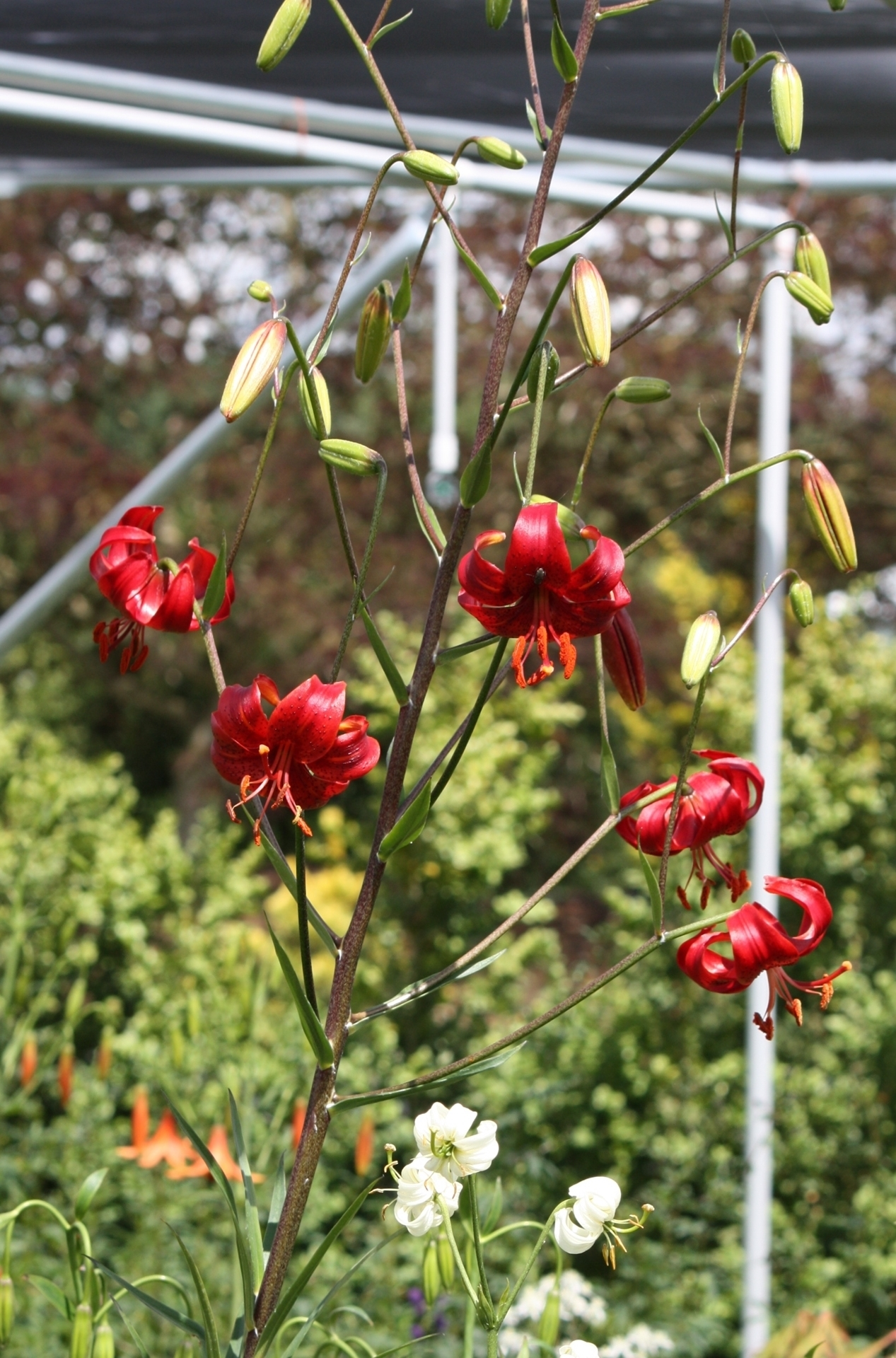 Picture of Lilium davidii 'Berry Red' BR lg