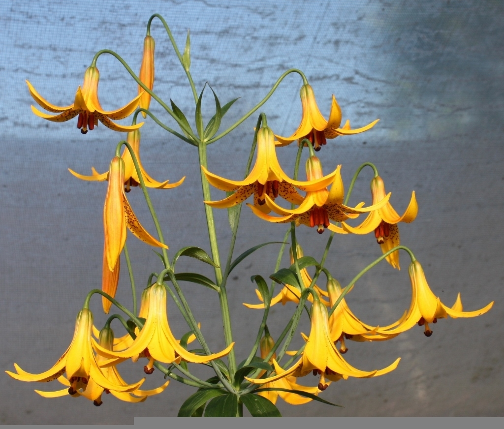 Picture of Lilium canadense yellow BR lg
