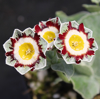 Picture of Primula auricula 'King Kong'