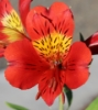Picture of Alstroemeria 'Moulin Rouge'
