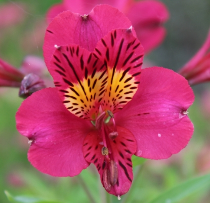 Picture of Alstroemeria 'Tessa'