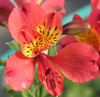Picture of Alstroemeria 'Watermelon'