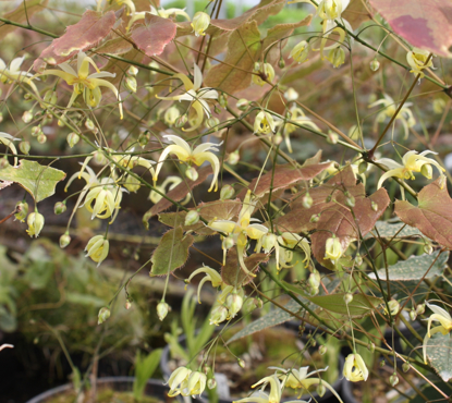 Picture of Epimedium chlorandrum 'Sichuan Spider'