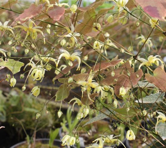 Picture of Epimedium chlorandrum 'Sichuan Spider'