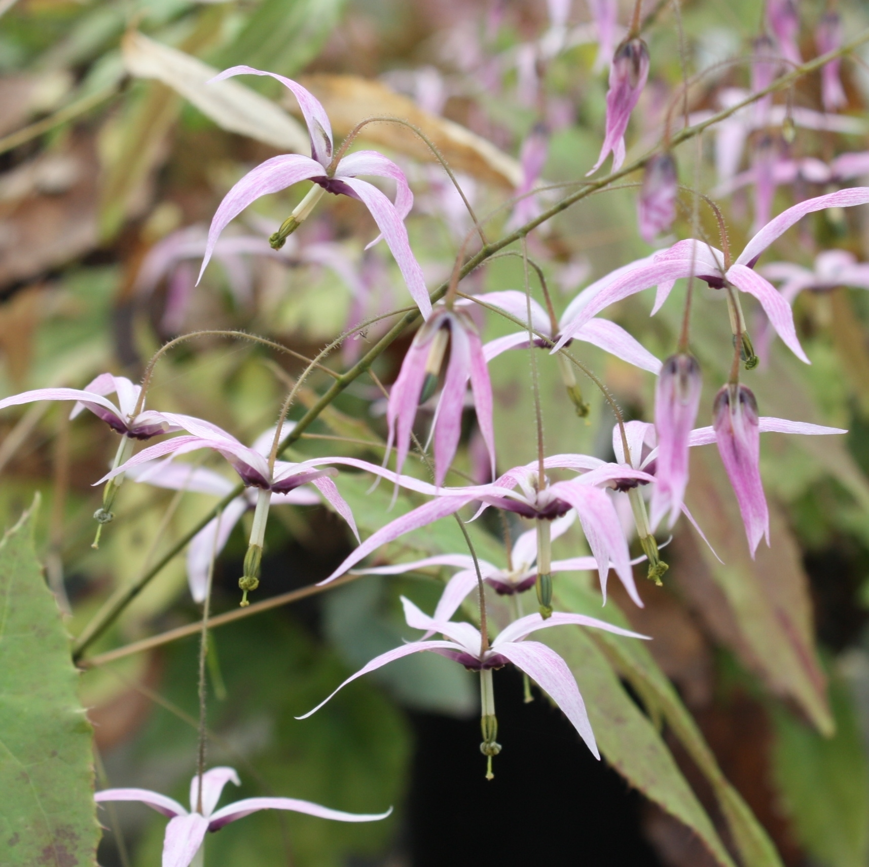 Picture of Epimedium fargesii CC001623