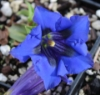 Picture of Gentiana clusii