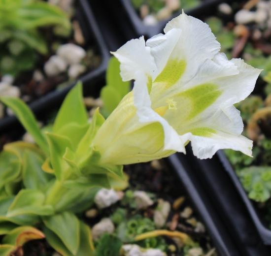 Picture of Gentiana x digenea 'Alba'