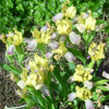 Picture of Iris variegata