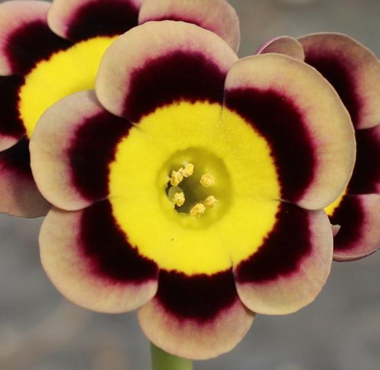 Picture of Primula auricula 'Sumo'