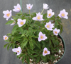 Picture of Anemone nemorosa 'Spring Sky'