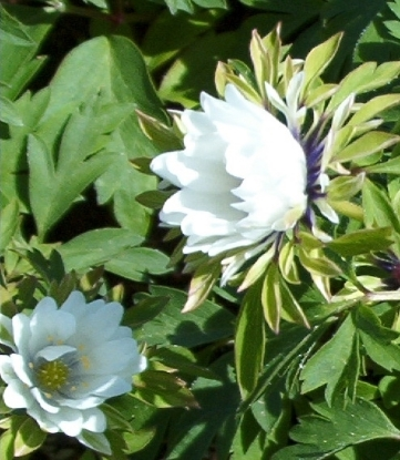 Picture of Anemone nemorosa 'Bracteata Pleniflora'