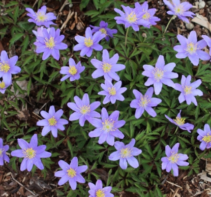 Picture of Anemone nemorosa 'Royal Blue'