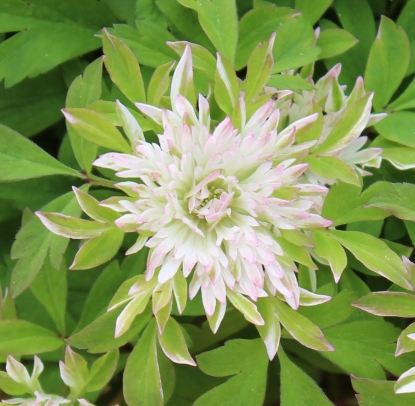 Picture of Anemone nemorosa 'Stammer Berg'