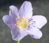 Picture of Anemone nemorosa 'Spring Sky'
