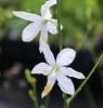 Picture of Anthericum ramosum