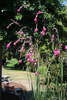 Picture of Dierama Hybr. Large Deep Pink (Divisions)