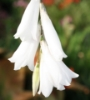 Picture of Dierama Hybr. Large White (Divisions)