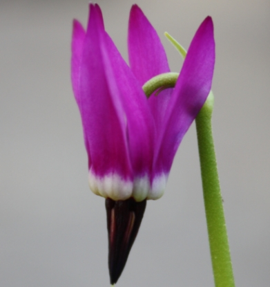 Picture of Dodecatheon austrofrigidum