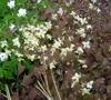 Picture of Epimedium x versicolor 'Neosulphureum'
