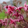 Picture of Epimedium 'Hot Lips'