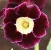Picture of Primula auricula 'Gordon Douglas'