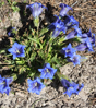 Picture of Gentiana angustifolia