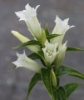 Picture of Gentiana asclepiadea 'Alba'
