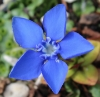 Picture of Gentiana verna var.  angulosa