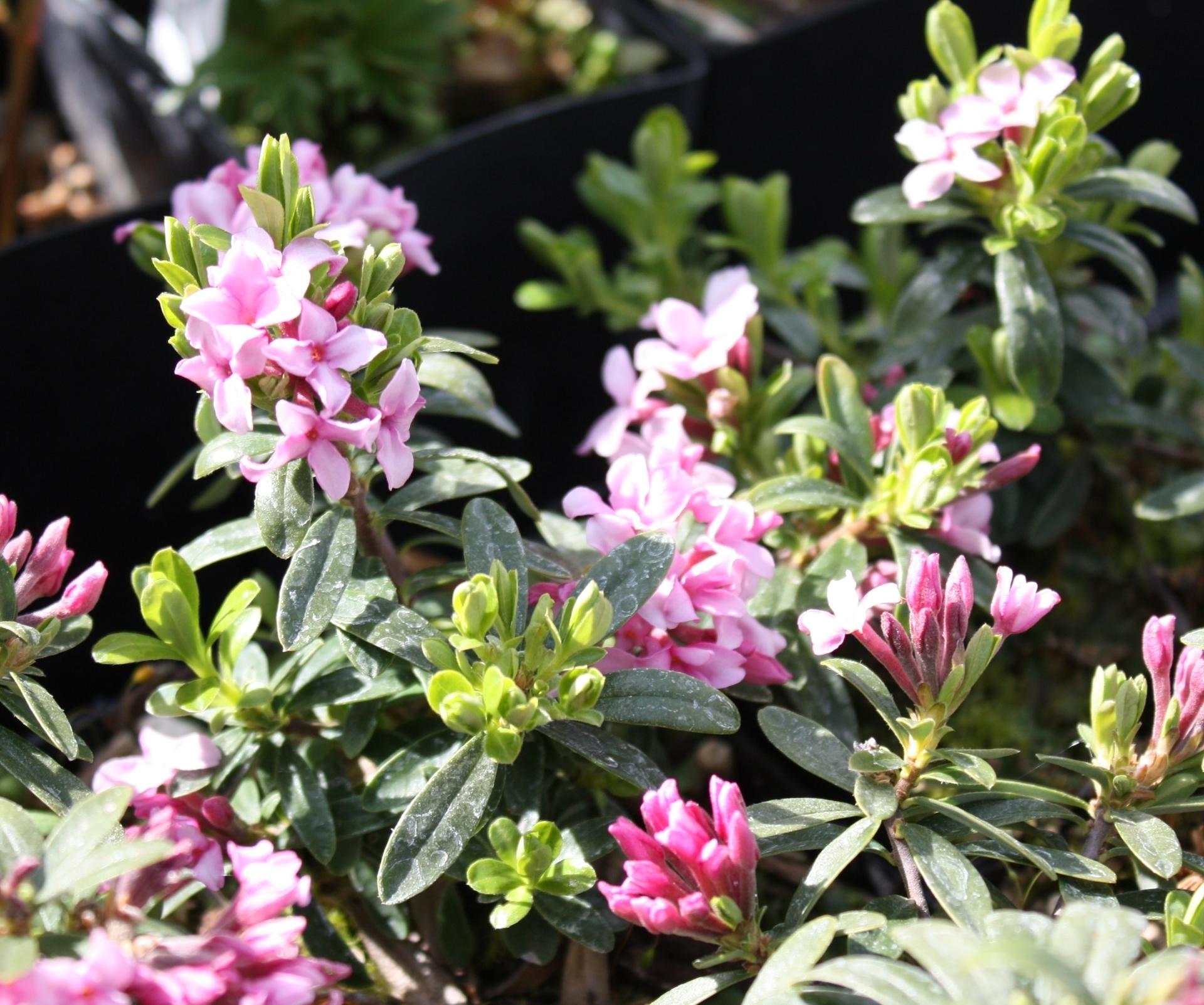 Picture of Daphne arbuscula x cneorum large