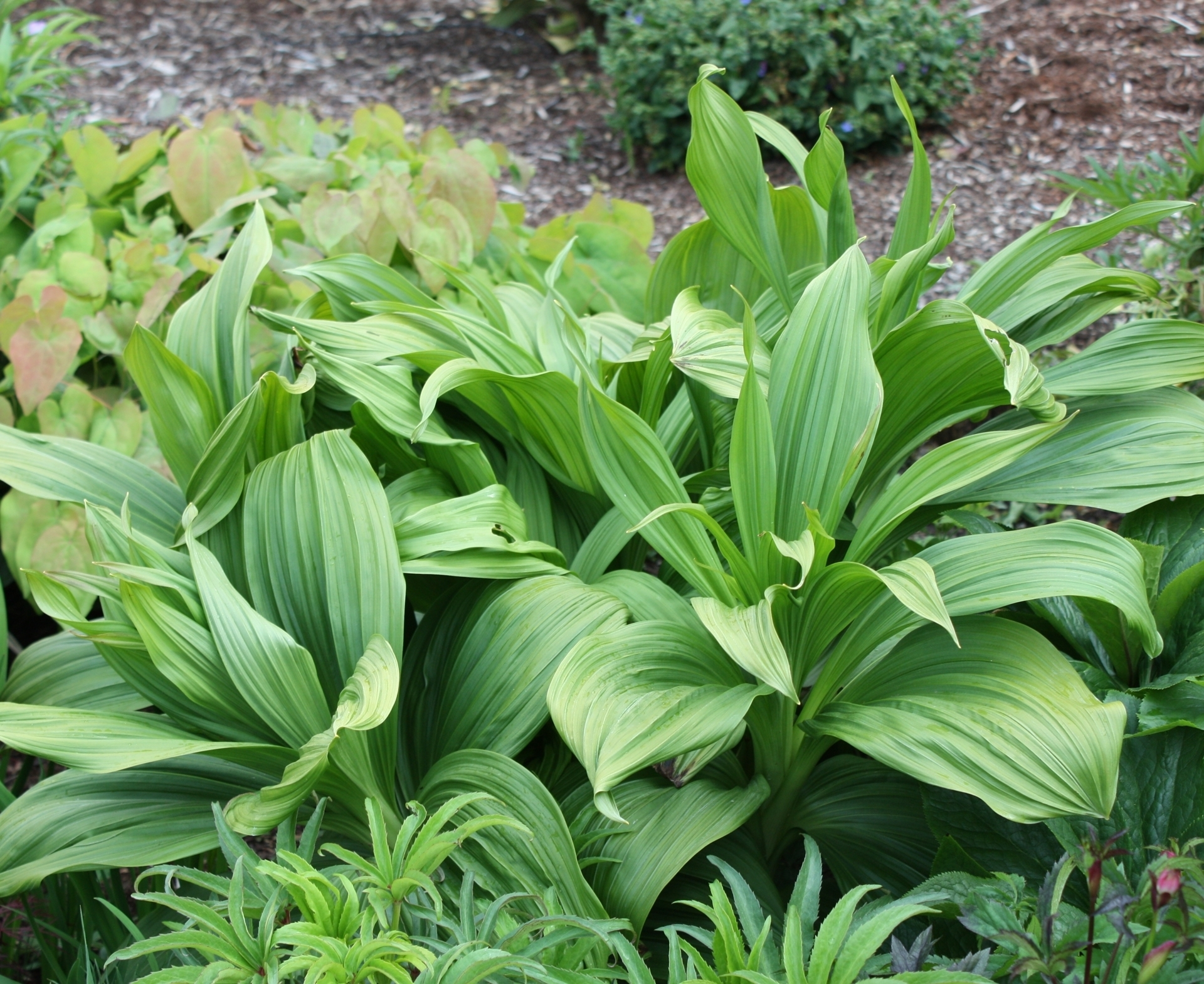 Picture of Veratrum nigrum band pot