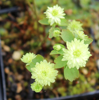 Picture of Anemonella thalictroides 'Betty Blake'