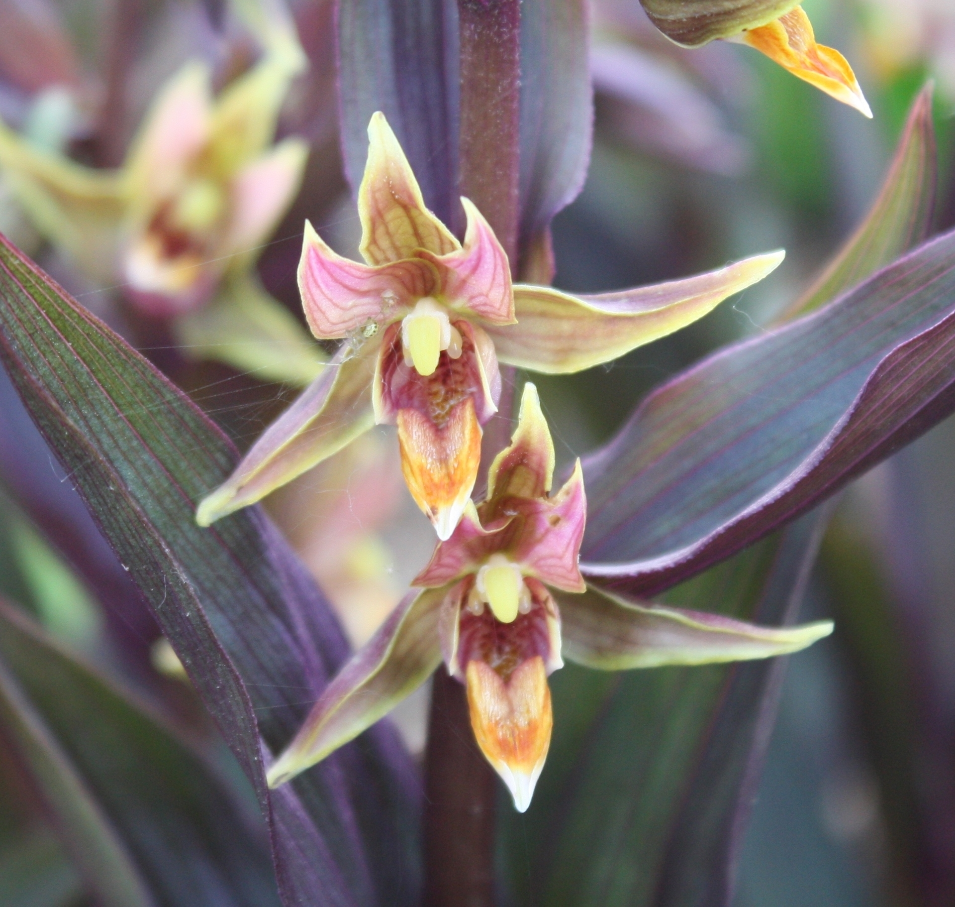 Picture of Epipactis gigantea 'Serpentine Night' x- large