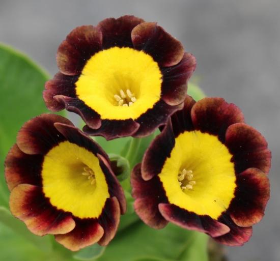 Picture of Primula auricula 'Gollum'