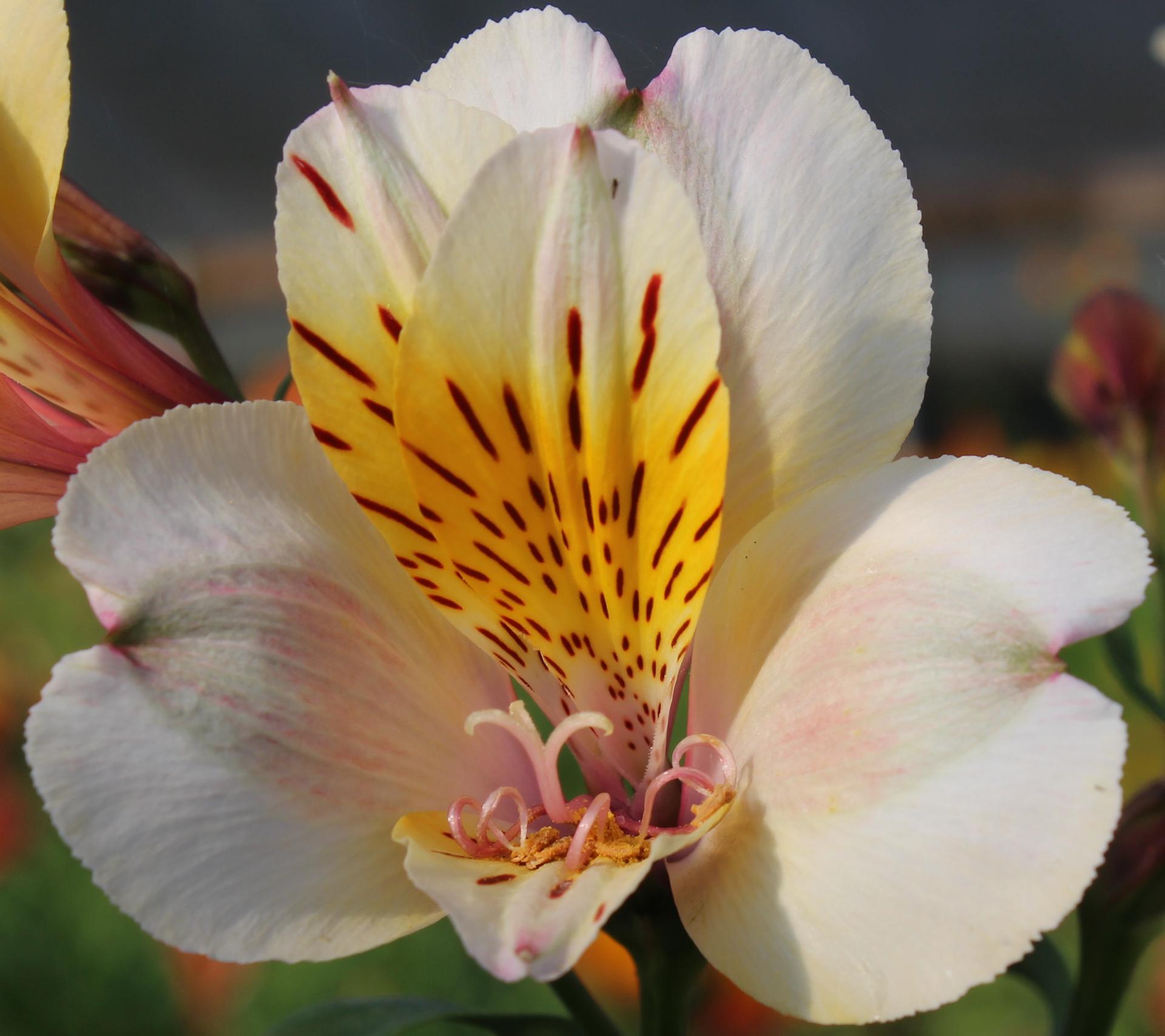 Picture of Alstroemeria Cream-white Tall