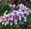 Picture of Alstroemeria Lavender-white