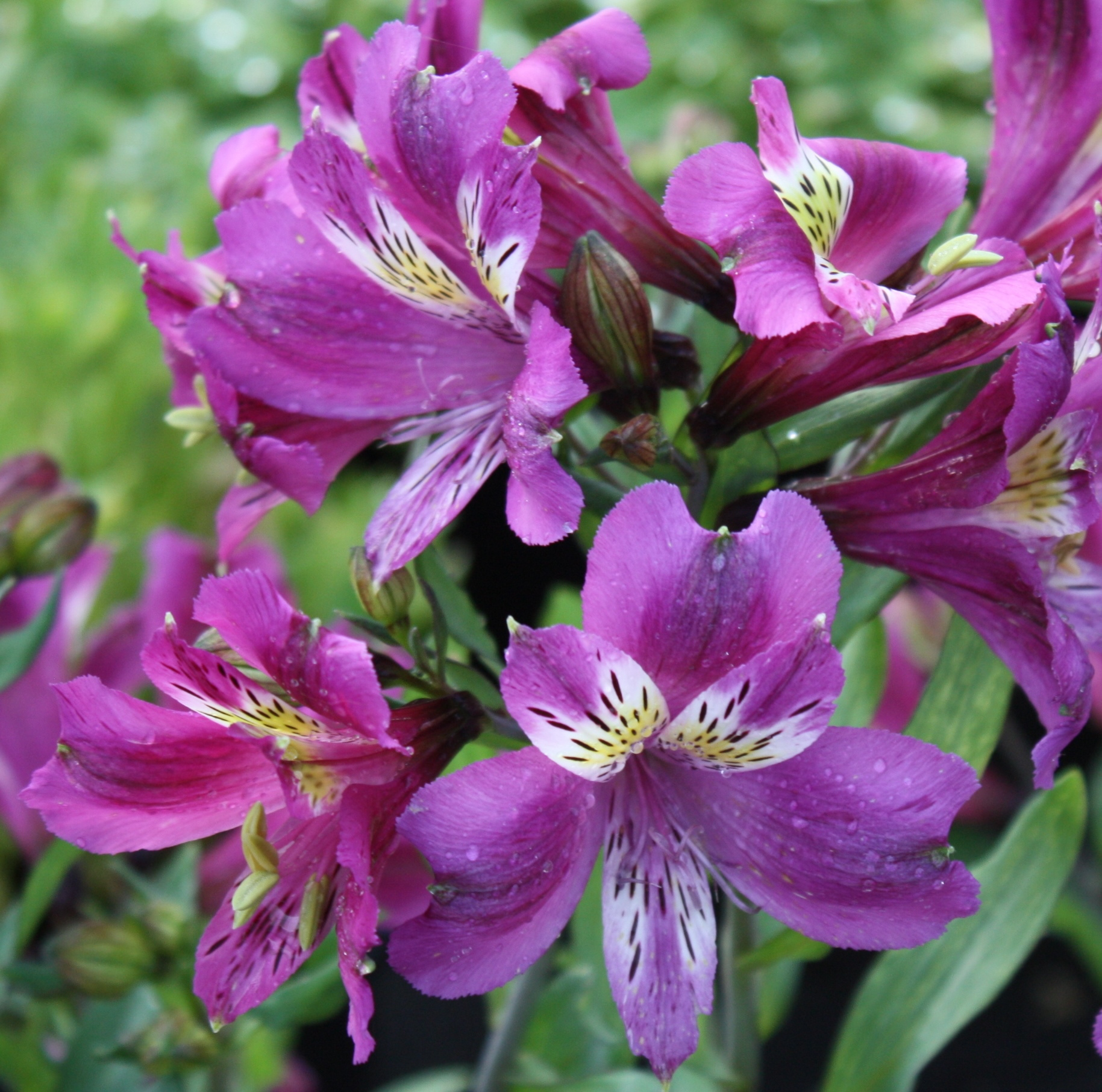 Picture of Alstroemeria 'Nehi Grape'