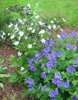 Anemone rivularis and Geranium 'Rosemore'