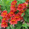 Picture of Alstroemeria 'Etna'