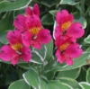 Picture of Alstroemeria 'Phoenix'