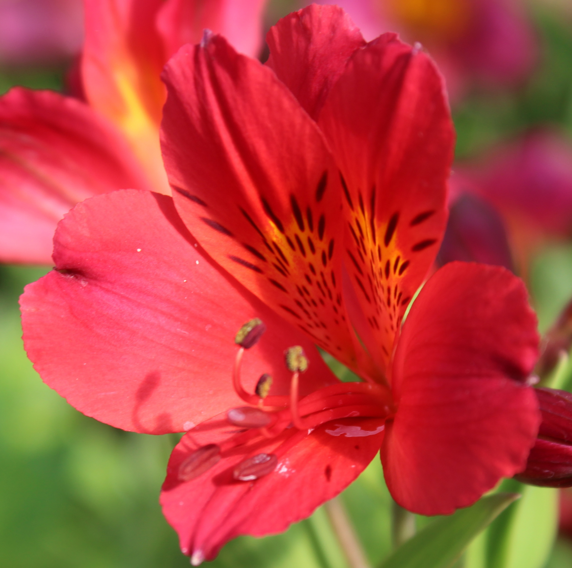 Picture of Alstroemeria 'Red Elf'