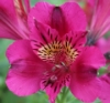 Picture of Alstroemeria 'Pandora'